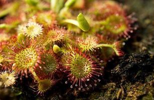 fleischfressende Pflanze foto