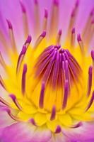 Purpurgelbe Seerose für abstact Hintergrund