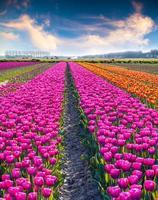 landwirtschaftliche Verarbeitung Tulpenblumen auf dem Bauernhof in der Nähe der Brunftstadt