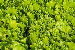 Salat Gemüse Pflanze Hintergrund foto