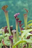 Kannenpflanzen (Nepenthes) foto