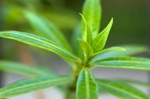 Blätter der Pflanze