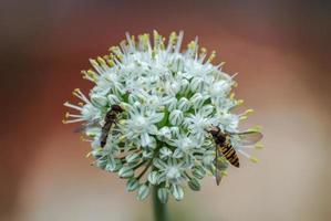 Wespen auf Zwiebelpflanze
