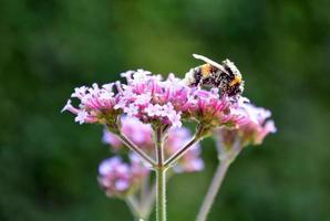 Biene auf einer Eisenkrautpflanze foto
