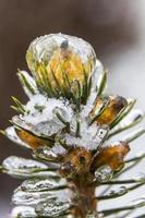 Knospe einer Kiefer gefroren und mit Eis bedeckt