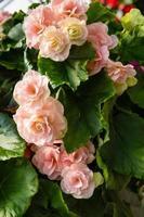 bunte Begonienpflanzen in voller Blüte foto
