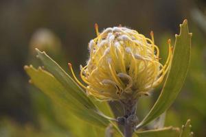 Blume einer Nadelkissenpflanze foto