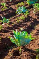 Kohl pflanzt Gemüse in grüner Farm foto