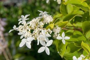 weiße Hortensienblüten an der Pflanze