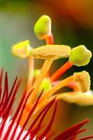 rote Passionsblume (Passiflora miniata) foto