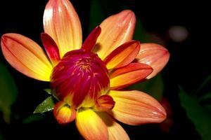 Dahlienblüten foto