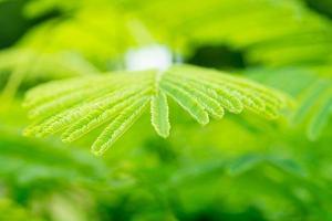grüne Blätter Leukana-Akazie mit grünem Unschärfehintergrund foto