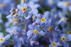schöner blumiger Hintergrund des blauen Vergissmeinnicht