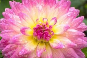 Nahaufnahme schöne rosa Dahlie nach Regen