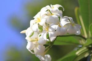 schöne weiße Blume in Thailand foto