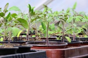 Tomatenpflanze im Glashaus foto