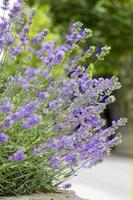 lila Lavendelpflanze mit Blumen foto