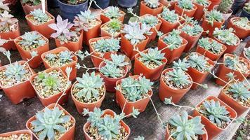 Miniatur-Sukkulenten im Garten. foto