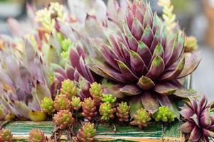 Sedumpflanzen in einem Gründach foto