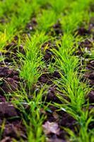 Winterernte auf dem Feld gepflanzt