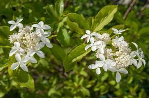 weiße Hortensienblüten an der Pflanze foto