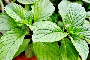 Nahaufnahme einer grünen Minzpflanze foto