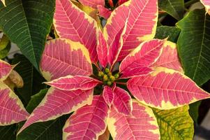 Weihnachtsstern Pflanzen in voller Blüte als Weihnachtsdekoration