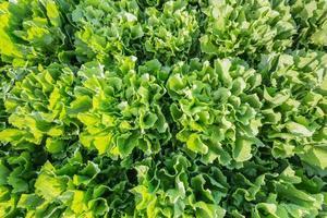 Nahaufnahme von Endivienpflanzen auf dem Feld foto