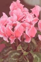Weinleseblickbild der blühenden rosa Alpenveilchenpflanze foto