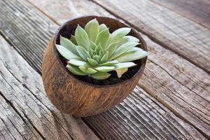 Hauswurz-Pflanze (sempervivum) im hölzernen Hintergrund des Kokosnusstopfs foto
