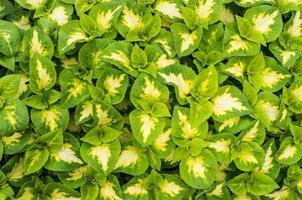 Anzeige von Buntlippenpflanzen mit grünen und weißen Blättern foto