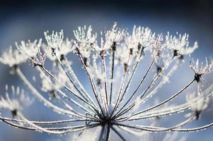 Doldenblütige Kuhpastinake im Winter bei Raureif