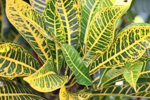 Nahaufnahme von grünen und gelben Blattpflanzenlaubhintergründen foto