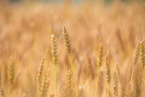Weizenfelder vor der Ernte, die in Gold gefärbt sind