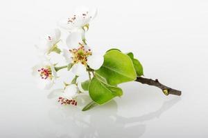 Apfelblühen lokalisiert auf dem weißen Hintergrund foto