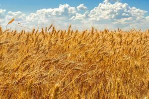 goldene Weizenähren auf dem Hintergrund des Himmels mit Wolken foto