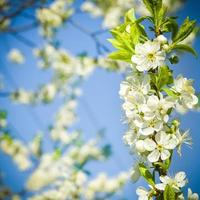Kirschblüten foto
