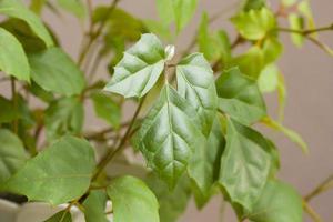 cissus rhombifolia foto