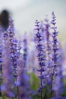 Lavandula Blume