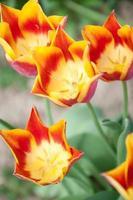 rote und gelbe Tulpe