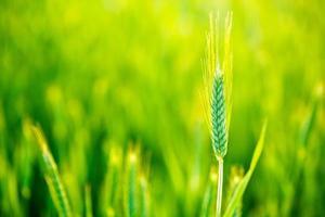 grüner Weizen im Feld bei Sonnenuntergang