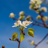 Blütenstand Birnen