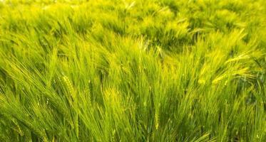 Weizen wächst auf einem sonnigen Feld im Frühjahr foto
