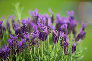 Deutschland, Nahaufnahme von Lavendelblüten foto