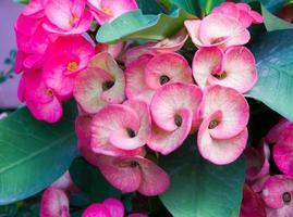 Dornenkrone Blumen foto
