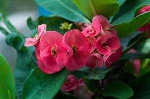 Dornenkrone blüht Euphorbia milli desmoul. foto