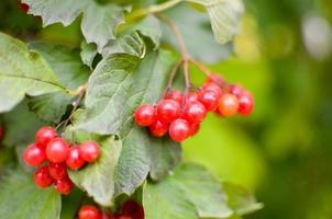 Ebereschen-Beeren-Busch im Herbst