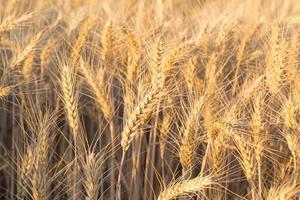 Nahaufnahme eines Weizenfeldes