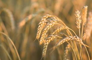 goldene Weizenähren unter dem Himmel