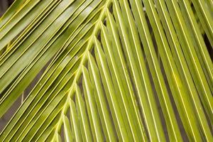 Kokosnussblätter im Garten foto